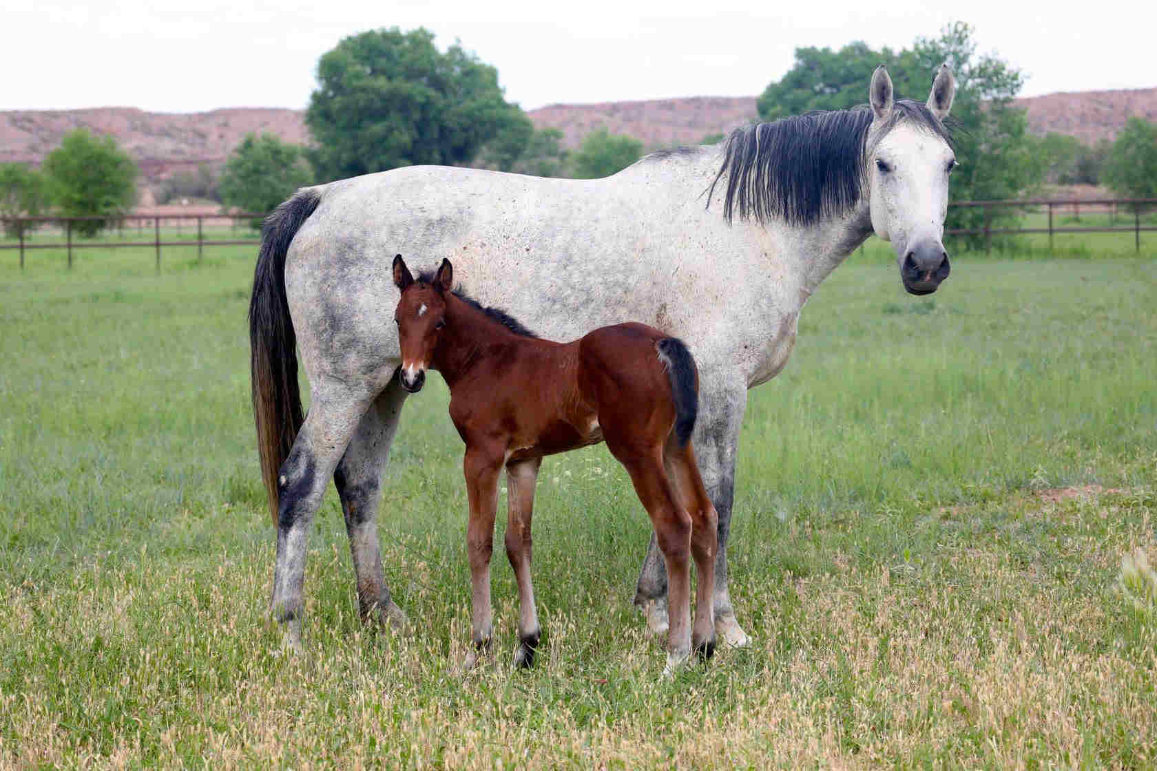 zooey b brood mare with colt at rancho corazon 1