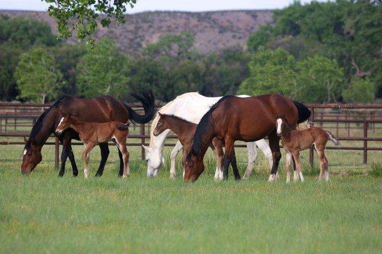 rancho corazon mares and foals